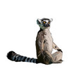 lemur from a splash watercolor colored drawing vector image