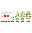 tomato plant growth stages infographic elements in vector image vector image