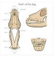 Veterinary teeth of the dog vector image