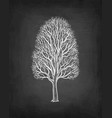 chalk sketch maple without leaves vector image vector image
