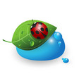 ladybird on a green leaf and a drop water vector image