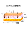 Human hair growth vector image