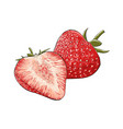 hand drawn sketch of strawberry in color isolated vector image vector image