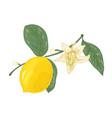 botanical drawing lemon tree branch vector image vector image