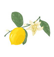 botanical drawing of lemon tree branch with vector image vector image