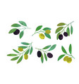 olive tree branches collection eco healthy vector image