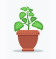dieffenbachia with spotted leaves in big clay pot vector image vector image