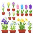 spring flowers in flower pots irises lilies of
