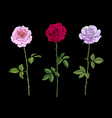 three rose flowers pink red and pale lavender with vector image