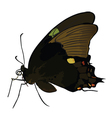 Black butterfly with colored spots vector image vector image