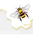 honey bee isolated on white vector image vector image