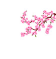 sakura cherry flowers with buds and leaves on a vector image vector image