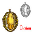 durian sketch fruit cut icon vector image vector image