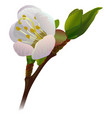 risen apricot flower on branch vector image