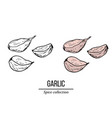 spice collection garlic hand drawn vector image vector image