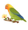 parrot tropical bird lovebird agapornis vector image