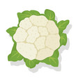 vegetable cauliflower cabbage vector image vector image