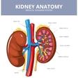 Kidney medical diagram poster vector image