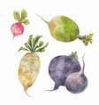 set of root vegetables watercolor drawing vector image vector image