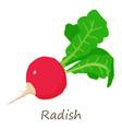 fresh radish icon isometric style vector image vector image