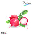 Watercolor radishes vector image