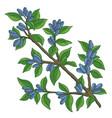 haskap berries and leaves blue sweetberry vector image