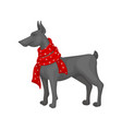 large gray dog wearing warm red scarf domestic vector image vector image