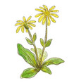 arnica montana watercolor imitation vector image vector image