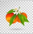 two citrus fruits mandarin or tangerine hanging on vector image