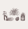 agave plant for cooking tequila fruit and farmer vector image