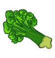 garden broccoli icon cartoon style vector image