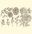 roses with leaves and buds herb medicinal vector image