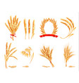 ears of wheat oat rye and barley vector image