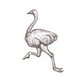ostrich bird farm animal sketch isolated running vector image vector image