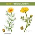 Wolgensis and spring adonis flowering medicinal vector image