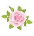 white background with a pink rose flower vector image