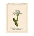 night blooming cereus cactus grandiflorus vector image vector image
