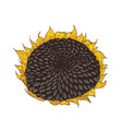 beautiful detailed botanical drawing of sunflower vector image vector image
