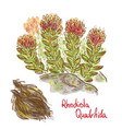 rhodiola quadrifida plant with dried roots vector image vector image