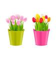 tulips in pots vector image vector image