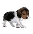 Puppy beagles 01 vector image vector image
