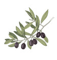 hand drawn branch with black olives vector image vector image