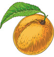 ripe apricot with green leaf vector image vector image