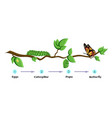 life cycle of butterfly eggs caterpillar pupa vector image vector image