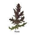 mizuna kyona japanese greens or spider mustard vector image vector image