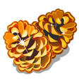 two golden pinecones isolated on white background vector image