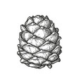 ink sketch of pine cone vector image vector image