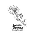 german chamomile black ink sketch vector image vector image