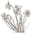 Hand Drawn Daffodil Sketch vector image vector image