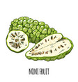 noni fruit full color realistic hand drawn vector image vector image